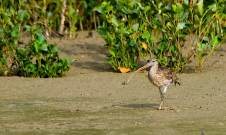 long billed bird on mud flats