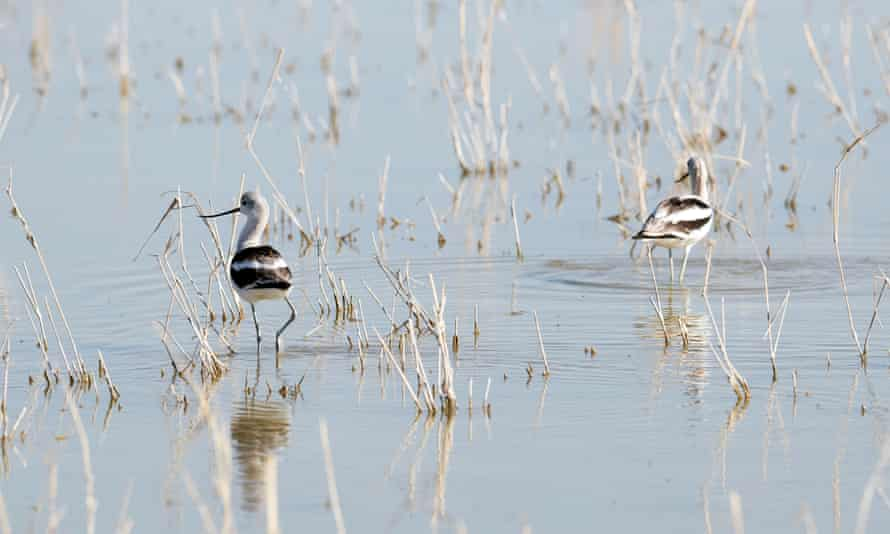 American avocets look for food near a freshwater pond at the southern point of the Salton Sea Lake, California.
