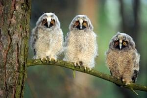Three long-eared owl chicks at a wildlife sanctuary in Vygonoshchi, Belarus