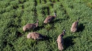 Emus in a crop of chickpeas. Dingo, Queensland.