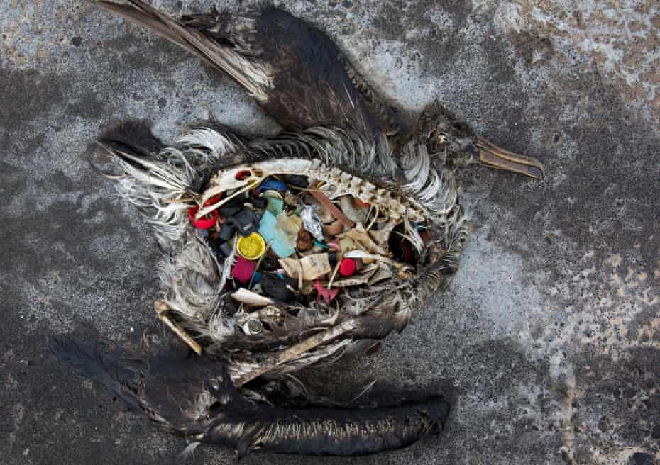A black-footed albatross chick with plastic debris in its guts, found in the Midway Atoll.