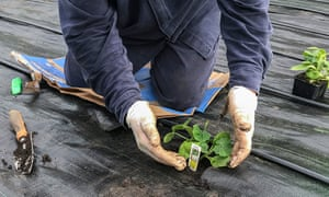 A Watson worker planting vegetables