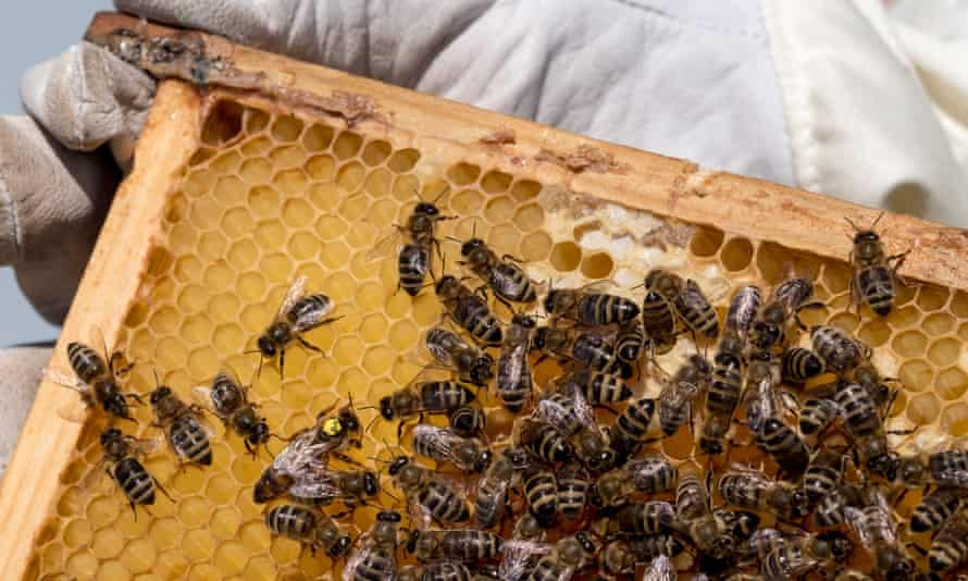 Bees in an apiary