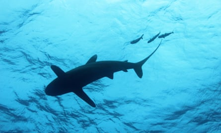 An oceanic passes overhead pass with pilot fish.