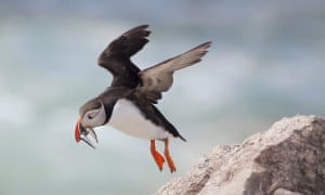 An Eastern Egg Rock Atlantic puffin carries white hake to her fledglings