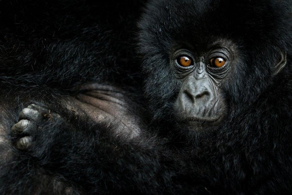 Gorilla by Nelis Wolmarans