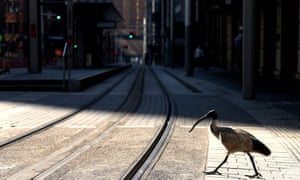 An ibis crosses a quiet street in Sydney, Australia. Budding birders are flocking to nominate their favourite feathered friends for Guardian/BirdLife Australia's 2021 Bird of the Year.