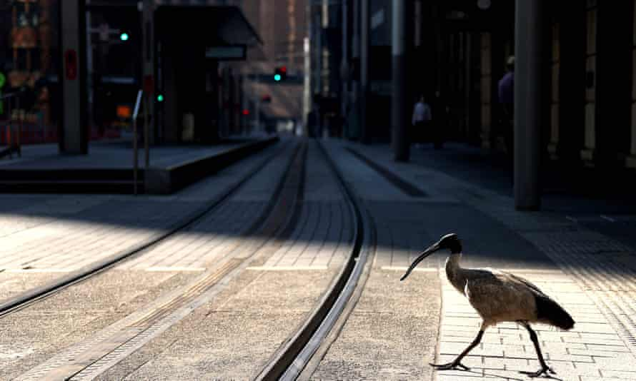 An ibis crosses a quiet street in Sydney during the Covid lockdown