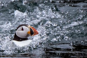 Perros Guirec, France. An atlantic puffin swims near Rouzic Island, part of the Seven Islands bird sanctuary in Brittany