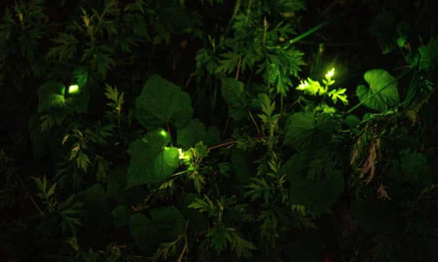 Fireflies on trees at Tatsuno Hotarudoyo Park in Tatsuno