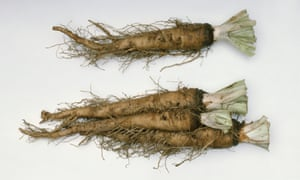 Scorzonera hispanica (salsify) roots with tendrils.