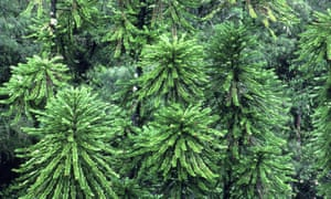 The wollemi pine is an Australian plant species under threat.