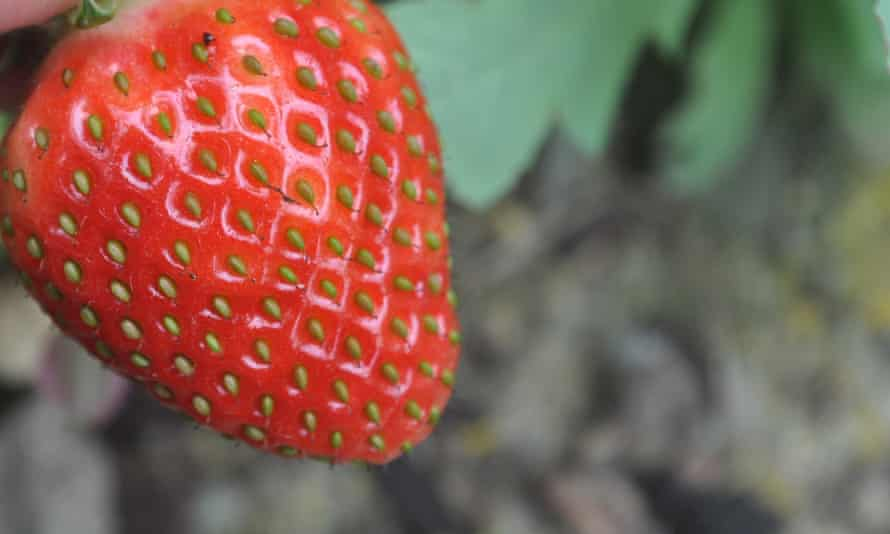 Bumper strawberry crops inside a polytunnel