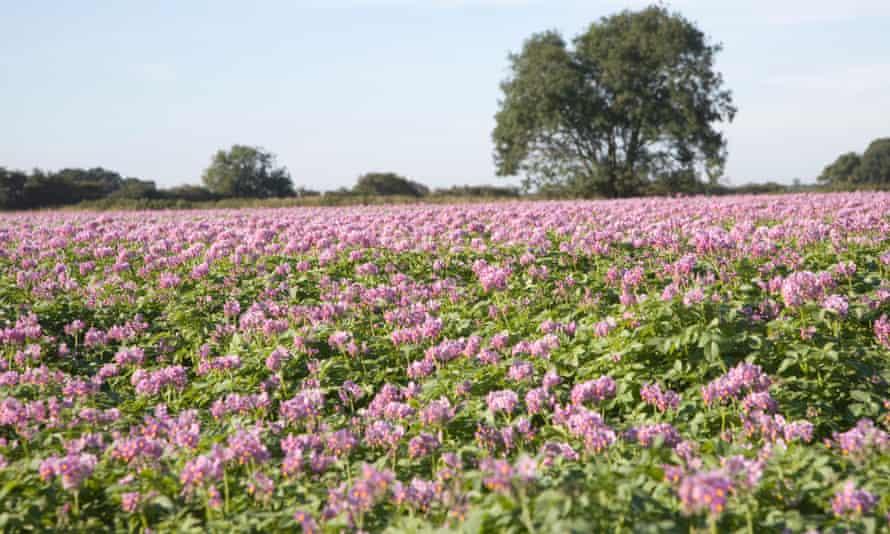 Field of purple-flowering potatoes, Suffolk, England