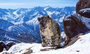 Planet Earth II: snow leopard
