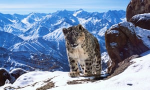 Planet Earth II gets close to a rare snow leopard.