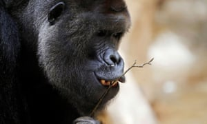 Richard, a western lowland gorilla, who was tested positive for Covid on 25 February.