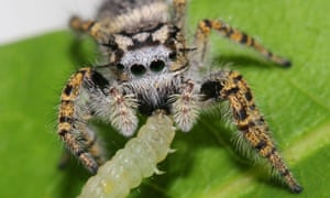 A jumping spider feeds on a tree-dwelling moth caterpillar.