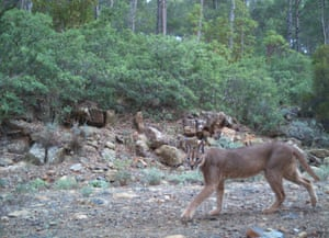 An ecosystem where caracal and Eurasian lynx live together has been discovered in western Anatolia