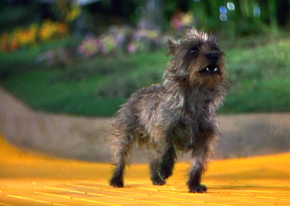 Toto in The Wizard Of Oz, 1939