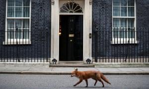 A fox walks past 10 Downing Street