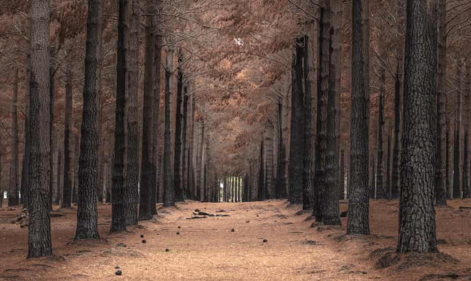 A pine plantation forest starting to show post-fire regeneration on Kangaroo Island.