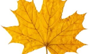 Photograph of a maple leaf
