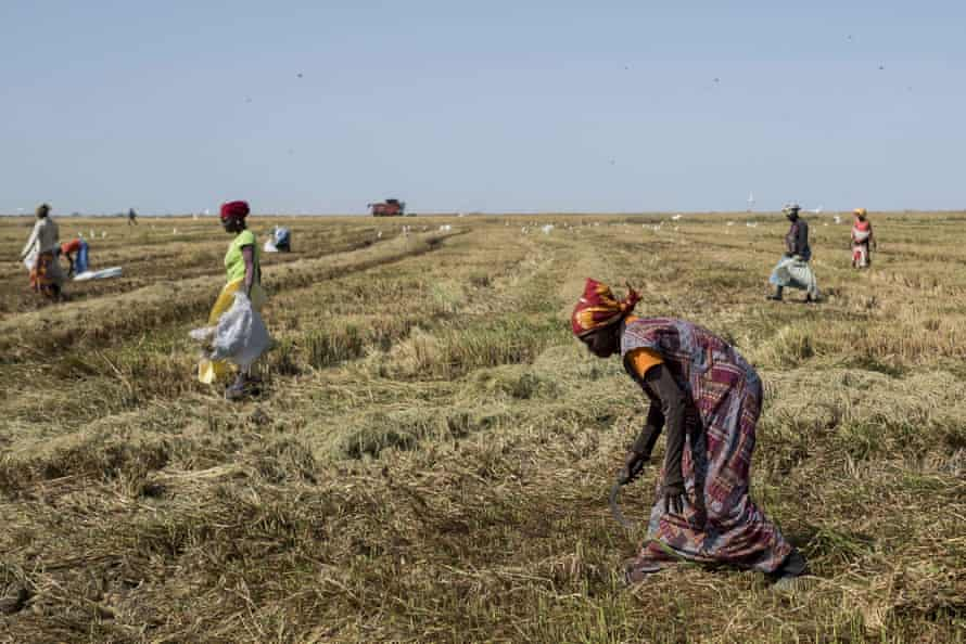 Workers collect rice grains in a recently harvested rice field at a Compagnie Agricole de Saint-Louis du Senegal.