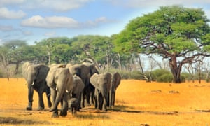 A herd of African elephants in Zimbabwe's Hwange National Park.