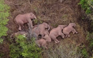 Yunnan, China  An image made from video by China Central Television shows elephants which had wandered 500km north from their natural habitat, resting in a forest near Kunming