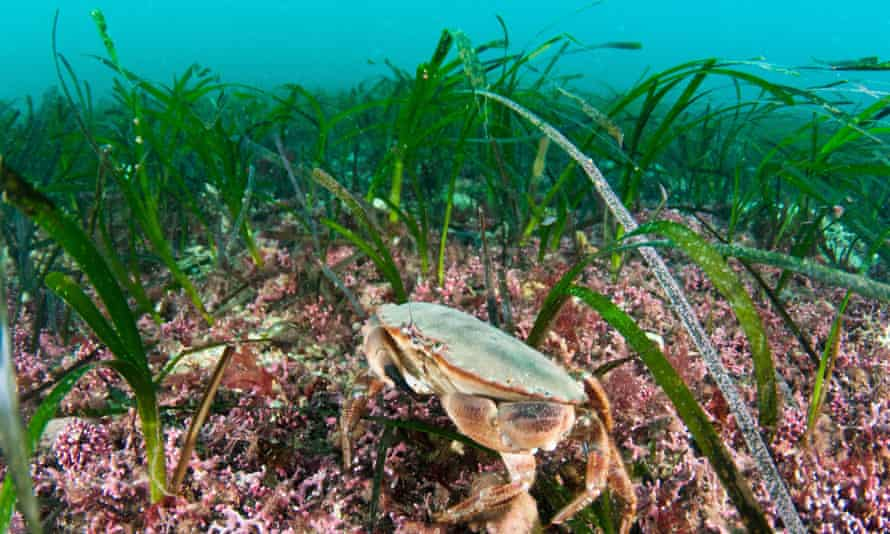 A seagrass bed off Orkney in Scotland