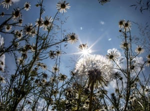 The sun shines through dandelion and chamomile flowers on the banks of the Main river, Frankfurt am Main, Germany