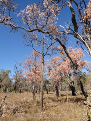 Marri and Jarrah trees suffering from dieback. Drought and heatwave in 2010-11 caused the death of 26% of mature trees in Jarrah forests in southwest Western Australia.