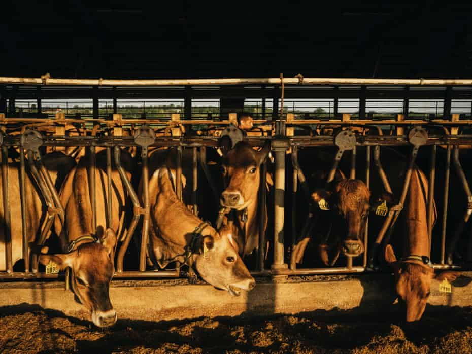 Cows feed from their pens in afternoon sunlight