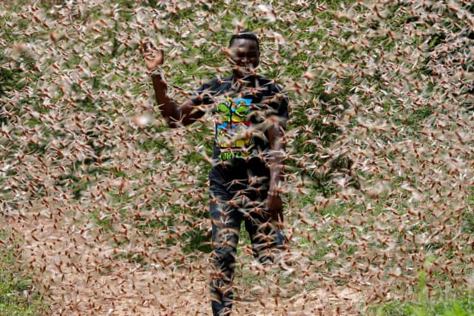 locusts swarm farmer in Kenya