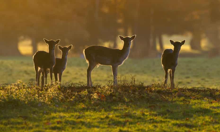 Fallow deer during Autumn rut at Holkham Hall Norfolk
