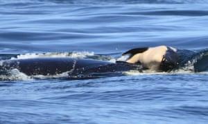 J35 pushing her dead baby calf off the Canada coast near Victoria, British Columbia