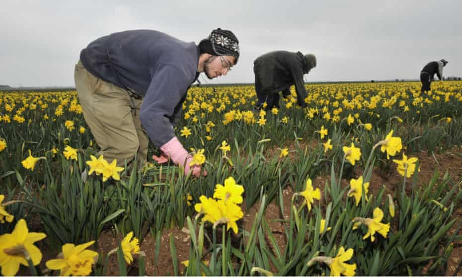 Migrant workers,  mainly from eastern Europe, do agricultural work in Lincolnshire.
