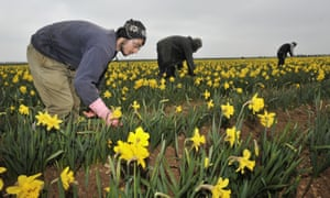 Migrants work in a field of daffodils at Nocton farm in Lincolnshire.