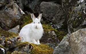 A study of mountain hares in Scotland found they are not changing their moult times, leaving them lacking appropriate camouflage for an extra 35 days each year on average compared with 65 years ago