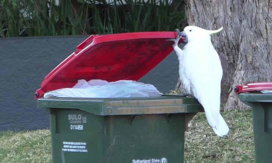 Opening a bin is a 'tricky' undertaking, requiring the use of claws ...