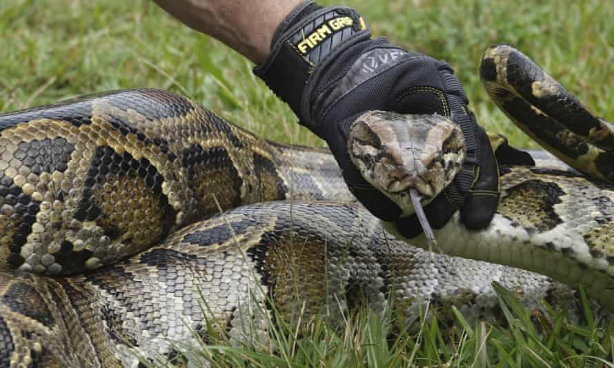 A Florida Wildlife Commission employee captures a Burmese python during the kickoff event for the Florida Python Challenge in Sunrise, Florida, on 10 January.