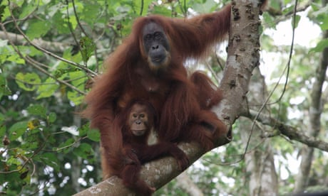 UK charity helps rescue two orangutans in Borneo from