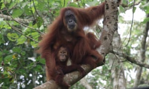 While much of the orangutan's forest habitat is technically protected, illegal logging and uncontrolled burning are continual threats.