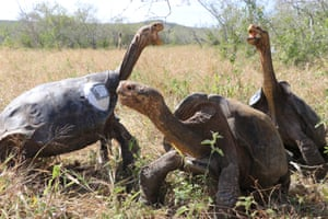 Hood Island giant tortoises after being released by park rangers on Espanola in the Galapagos archipelago.