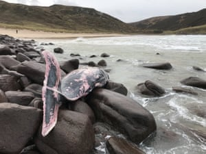 The female True's beaked whale was found at Kearvaig Bay in Sutherland in the Scottish Highlands