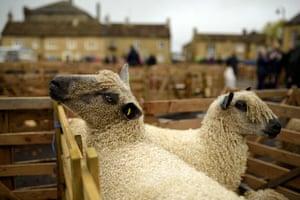 Wensleydale sheep await the judges at the annual Masham Sheep Fair