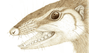 Wareolestes rex, a Jurassic mammal fossil found on the Isle of Skye, Scotland.