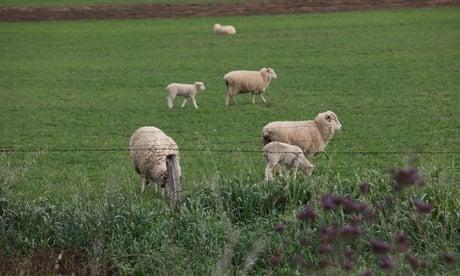 Sheep in a green paddock