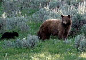 A female American black bear with cubs in Yellowstone national park, Wyoming, US